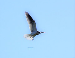 Hovering White Tailed Kite (Scott Severn) Tags: ebparksok whitetailed kite