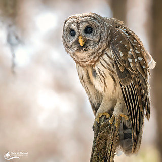 Barred Owl Looking Wise
