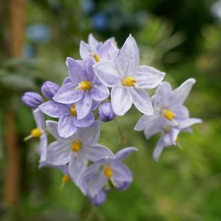 Au jardin, morelle faux jasmin (solanum laxum), Bosdarros, Béarn, Pyrénées Atlantiques, Nouvelle-Aquitaine, France.