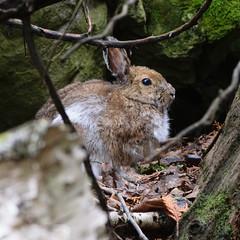 Snowshoe Hare-4229 (RG Rutkay) Tags: fathomfivenationalmarinepark flowerpotisland tdpc tobermory nature animal hare snowshoe rabbit mammal native
