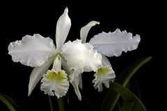 Cattleya Lueddemanniana Alba (sol33609) Tags: cattleya orchid species flower