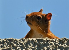 Summer Cyril..x (Lisa@Lethen) Tags: red squirrel rare scotland sun blue sky wall animal head nature wildlife