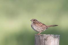 Bruant chanteur (boisvertvert1) Tags: michelboisvert 2018 birds bruantchanteur oiseauxduquébec scirbi berthier