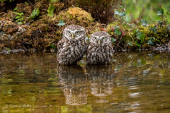 And then there were two.............. 750_0274.jpg (Mobile Lynn) Tags: nature owls birds littleowl bird fauna strigiformes wildlife nocturnal otterbourne england unitedkingdom gb coth specanimal coth5 ngc npc