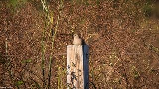 rolinha-vaqueira (Uropelia campestris)