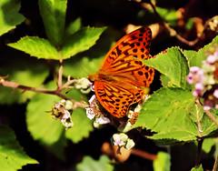 Silver Washed Fritillary (Fr Paul Hackett) Tags: butterfly fritillary bramble flower summer sunshine leaves