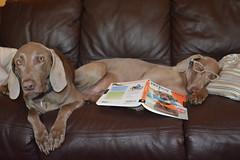 boring tricks (ruthinea) Tags: weimaraner tricks hannajuno sofa sisters sleepy book glasses