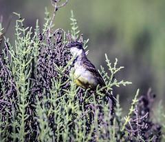IMG_5349 (ibzsierra) Tags: ibiza eivissa baleares canon 7d tamron g2 150600 ave bird oiseau salinas parque natural