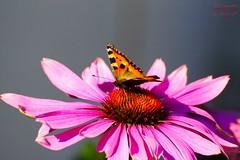 Butterfly (Jurek.P) Tags: butterflies butterfly rusałkapokrzywnik smalltortoiseshell motyle motyl flowers kwiaty macro jurekp sonya77
