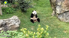 2018_07-11f (gkoo19681) Tags: beibei chubbycubby fuzzywuzzy adorableears feetsies toofers treattime sugarcane soyummy sohappy delicious thankful brighteyed adorable toocute scratching itchy precious seekingshade ccncby nationalzoo