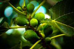 2018-190 Figs
