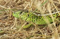Sand lizard (Elisa1880) Tags: lacerta agilis zandhagedis duinhagedis sand lizard reptiel reptile animal dier solleveld den haag the hague nederland netherlands summer zomer duinen dunes hagedis