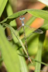 Slender Spreadwing (Lestes rectangularis) (Frode Jacobsen) Tags: damselfly lestesrectangularis maryland merklewildlifesanctuary princegeorges slenderspreadwing insect