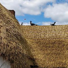 365-193 Straw Thatched Roof (Christine Schmitt) Tags: 365the2018edition 3652018 day193365 12jul18 straw roof birds thatched kilmorequay wexford