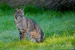 Bobcat (fascinationwildlife) Tags: animal mammal wild wildlife nature natur national park point reyes bobcat cat elusive luchs rotluchs feline california usa america