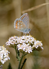 Common Blue butterfly on Yarrow (Graeme Neal) Tags: common blue butterfly yarrow steart marshes somerset insect macro grass