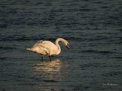 _DSC3580.jpg (fotolasse) Tags: sonyölandormvråkfåglar öland natur kalmar ottenby långejan fyr canon sony bird birds fåglar vatten hav water sea sweden sverige