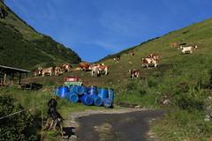 encore des vaches.... (bulbocode909) Tags: valais suisse bourgstpierre valdentremont montagnes nature vaches chiens paysages alpages bidons vert bleu chemins combedesplanards