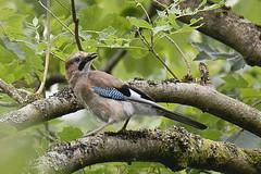 Jay - Garrulus Glandarius (MikeHawkwind) Tags: animals birds corvids garrulusglandarius jay muiravonside scotland uk
