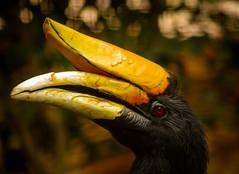 The Hornbill (joshdgeorge7) Tags: chester zoo hornbill jungle bird aviary summer yellow majestic pentax sigma macro contrast zoom ricoh