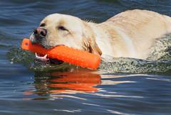 Retrieving (lablue100) Tags: lab labrador retriever yellowlab labradorretriever dummy water sea bay swimming nature action colors fun love summer