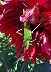Dahlie (fleckchen) Tags: dahlie dahlien dahlia dahlienblüten dahlienblüte blumen blüten blooms blumenblüten blossoms blume flowers grünesheupferd greenhayhorse insekten insects insect garten sommer