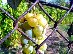 Grapes (madalinopreaphotography) Tags: ‪madalinopreaphotography‬ europe romania bihor beautiful amazing nature grapes autumn fall yellow locked sunny macro rusty rural