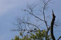img_100-3880 (Mark Eichin) Tags: greatmeadowsnationalwildliferefuge kingbird concord mourningdove massachusetts easternkingbird