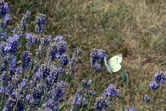 Three Dots (emerge13) Tags: butterflies papillons lavande maisonlavande nature flowers lavender fleurs flowerfields piérideduchou cabbagebutterfly pierisbrassicae champsfleuris saariysqualitypictures thegalaxyhalloffame proxy