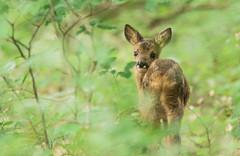 Découvrir la vie (Eric Penet) Tags: chevreuil mormal mammifère wildlife wild france faune forêt locquignol jeune roe faon deer roedeer avesnois printemps juin nord nature