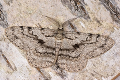 +74694 (NakaRB) Tags: 2017 insecta lepidoptera geometridae