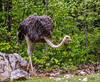Ostrich (JuanJ) Tags: nikon d850 lightroom art bokeh nature lens light landscape white green red black pink sky people portrait location architecture building city iphone iphoneography square squareformat instagramapp shot awesome supershot beauty cute new flickr amazing photo photograph fav favorite favs picture me explore interestingness wedding party family travel friend friends vacation beach zoo northcarolina usa 2018 april ostrich ashboro animals animal