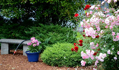 garden (jillian rain snyder) Tags: garden rose roses flowers flower pink red white colorful hose bench bushes leaves