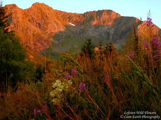 Lofoten Wild Flowers