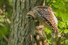 _S7A2350-Barred owl (little river2006) Tags: barred owl