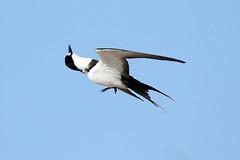 Onychoprion fuscatus (Sooty Tern) - Seychelles (Nick Dean1) Tags: onychoprionfuscatus tern sootytern charadriiformes seabird animalia chordata aves thewonderfulworldofbirds ngc birdperfect birdwatcher