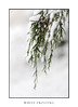Green pine needles draped in snow (sugarbellaleah) Tags: snow pine tree trees pineneedles green snowflakes pretty nature weather season winter snowing snowcovered white simple background copyspace laden botany botanical cold chilly