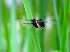 Widow Skimmer female IMG_5512 (Jennz World) Tags: ©jennifermlivick caltonswamp aylmer ontario canada dragonfly damselfly