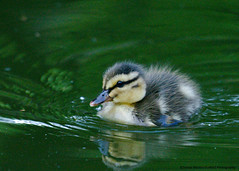 DSC_0584 mallard (Selena Rhodes Scofield Photography) Tags: selenarhodesscofieldphotography babybirds babyduck mallardduck mallard pond