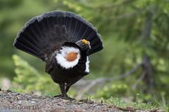 Sooty Grouse (Gregory Lis) Tags: sootygrouse dendragapusfuliginosus manningpark britishcolumbia gorylis gregorylis nikond810 nikon grouse