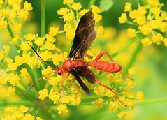ichneumon wasp (Trogus pennator) at Lake Meyer Park IA 653A8809 (lreis_naturalist) Tags: ichneumon wasp trogus pennator lake meyer park winneshiek county iowa larry reis