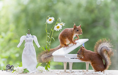 red squirrels with a piano (Geert Weggen) Tags: piano nature animal artscultureandentertainment author backlit bright classicalmusic closeup cute horizontal humor key low mammal music musicalinstrument photography reading red rodent squirrel sun sweden table mood atmosphere wedding concert celebration flower geert weggen jämtland ragunda bispgården hardeko