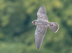 DSC7908  Peregrine.. (jefflack Wildlife&Nature) Tags: peregrinefalcon peregrine falcon falcons birdsofprey raptors birds avian animal animals wildlife wildbirds cliffs gorge avon countryside coastalbirds coastline wildlifephotography jefflackphotography nature ngc npc