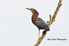 IMG_9334 (nitinpatel2) Tags: bird nature nitinpatel