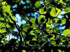 Denn Farm, Shropshire, UK (Andy Sut) Tags: nature campsite dennfarm shropshire uk england leaves sunlit