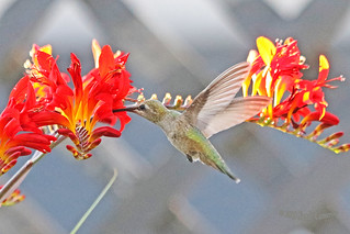 Anna's Hummingbird Flying 18-0714-7417