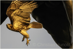 red-tailed hawk (Christian Hunold) Tags: redtailedhawk buteojamaicensis rotschwanzbussard urbanhawk eakinsoval philadelphia christianhunold