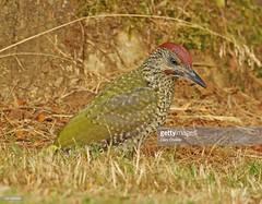 Green Woodpecker juvenile male (Gary Chalker, Thanks for over 3,000,000. views) Tags: greenwoodpecker woodpecker bird pentax pentaxk3ii k3ii pentaxfa600mmf4edif fa600mmf4edif fa600mm 600mm