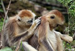 Golden Snub-nosed Monkey (Rhinopithecus roxellana) (cowyeow) Tags: china chinese asia asian shennongjia hubei shennongjiaforestrydistrict wildlife nature monkey monkeys endemic rare cute golden snubnosed rhinopithecusroxellana goldensnubnosedmonkey rhinopithecus roxellana snubnosedmonkey goldenmonkey forest composition groom grooming