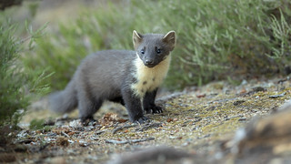Pine marten in the wild of the Scottish forests